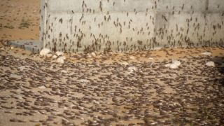 When a locust plague was plotted to prevent a cricket tour